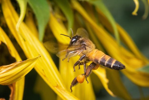 ひまわりの甘いのために見つけることクローズアップ蜂
