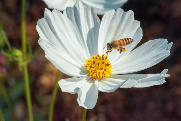 蜂はコスモスの花から甘いものに取り組んでいます
