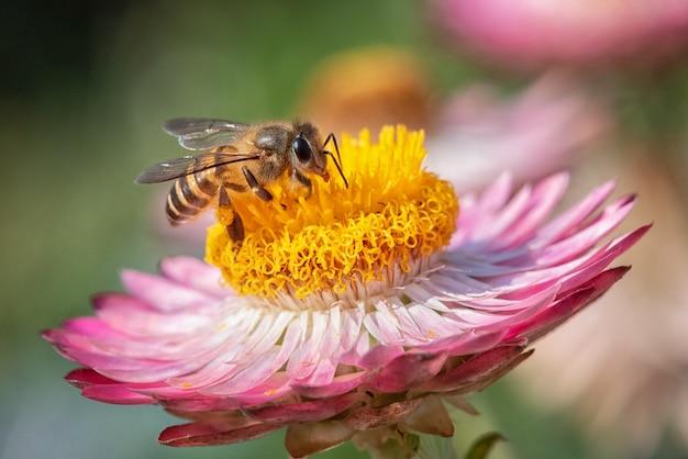 Пчела находит сладкое в соломенном цветке