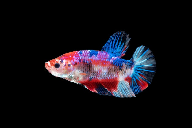 Движение рыбы бетта, сиамские боевые рыбы