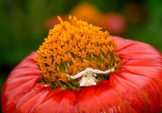Белый краб-паук