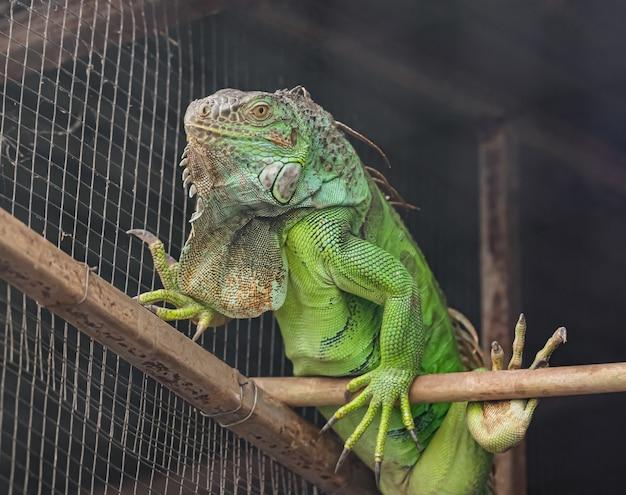 緑のイグアナ