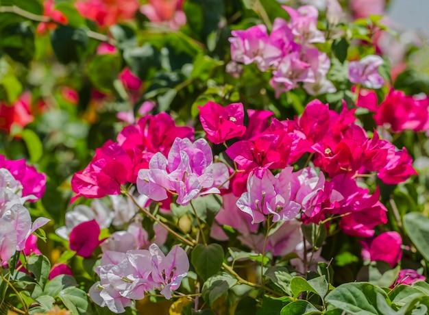 背景にマルチカラーのブーゲンビリアが咲いています