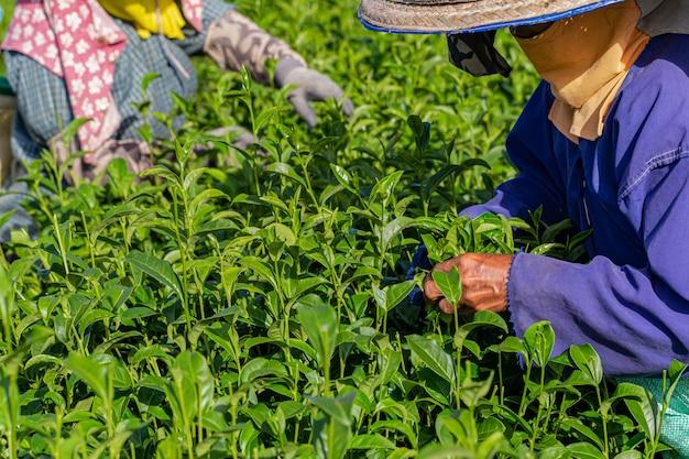 朝、チェンライ、タイの緑茶農園で働く女性