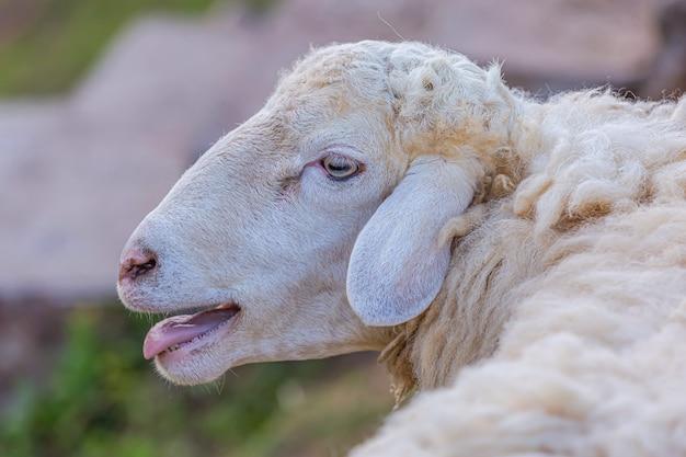 Белая овца на ферме
