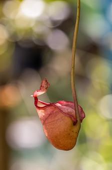 多種類のネペンテス植物