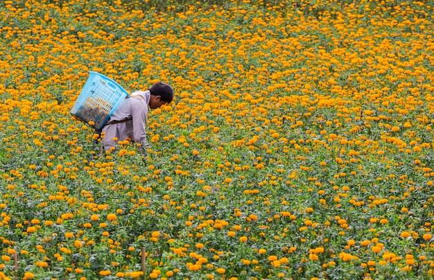 農民は朝、マリーゴールドの花を収穫しています。