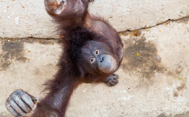 動物園のオランウータン