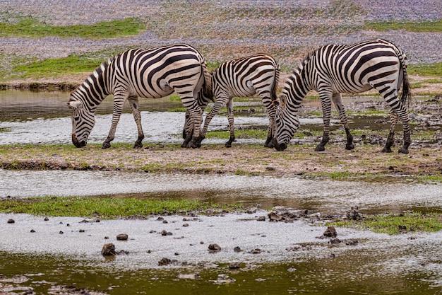 Молодая зебра на открытом зоопарке