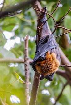 コウモリは木で休んでいます。
