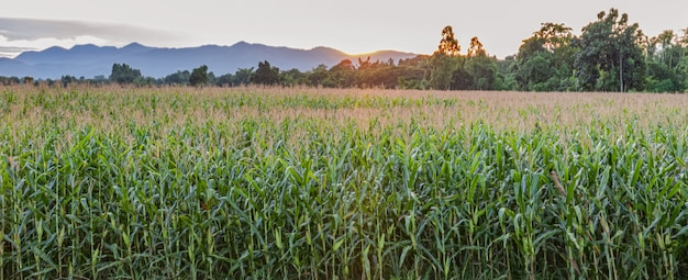 太陽が沈む前のトウモロコシ畑