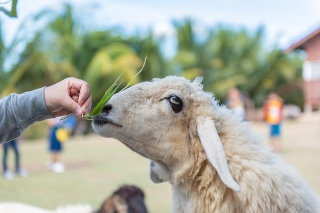 子羊は餌を食べ、観光客は農場で子羊を食べています。