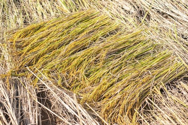 収穫期のジャスミンライス