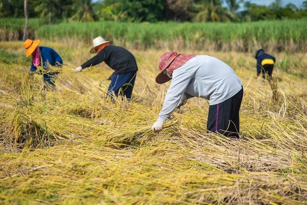 収穫期における農家の収穫