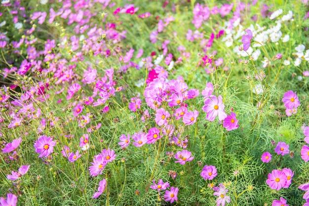 庭に咲くピンクのコスモスの花。