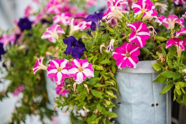 ピンクと紫のコスモスの花が咲きます。