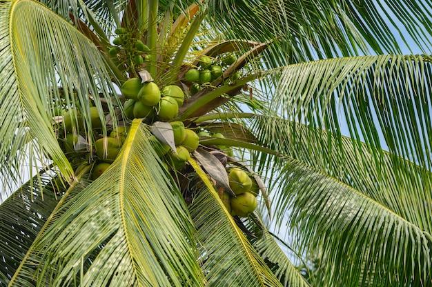 Кокос на дереве. плоды полезны для организма. высокие витамины и полезны для здоровья в таиланде.