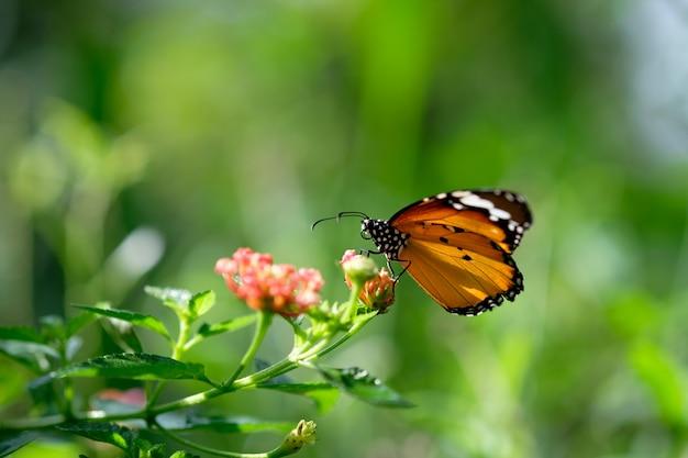 コスモスの花に蜜を求めてモナークバタフライ