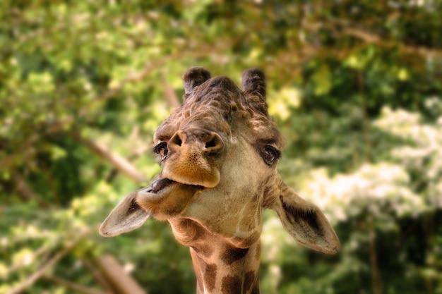 Жирафы делают смешные лица в джунглях.