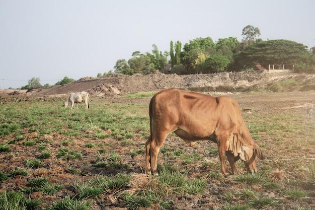フィールドで牛。