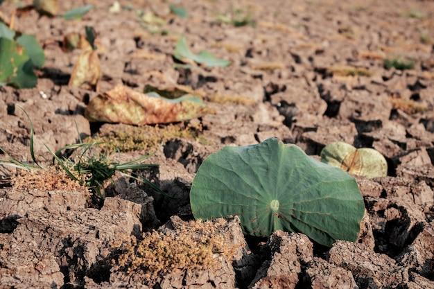 ロータスは乾燥地面に葉。