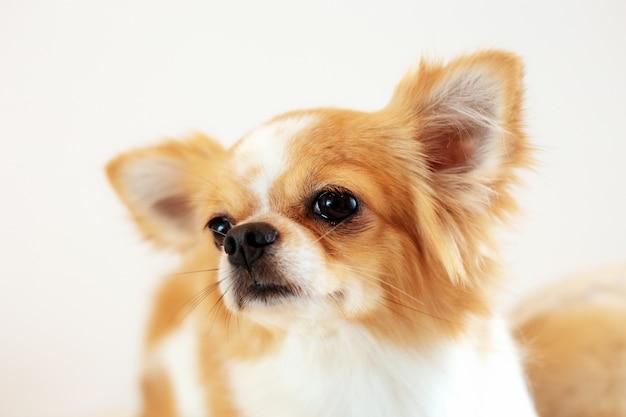 白い背景の犬。