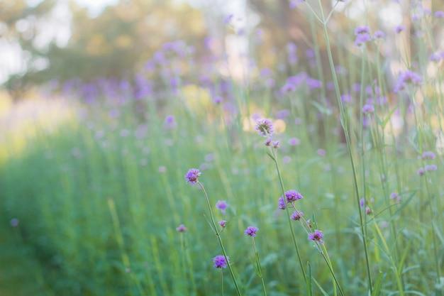 プランテーションのバーベナの花。