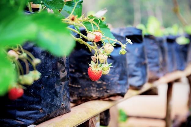 タイの農場でイチゴ。