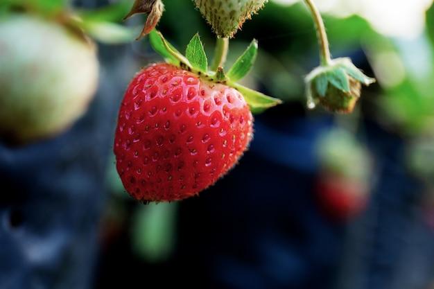 農場で熟したのイチゴ。