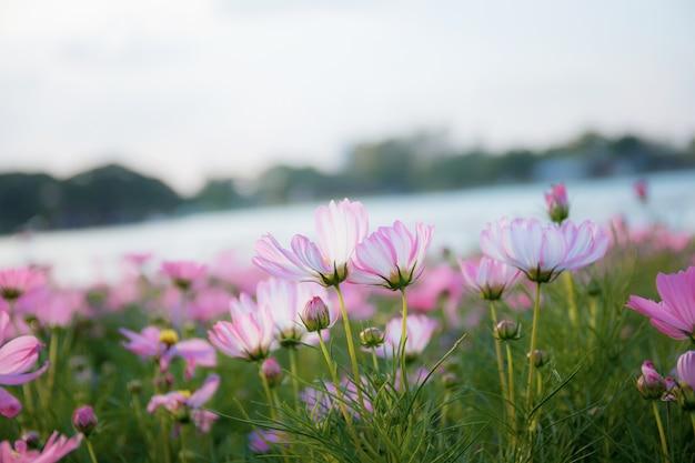 冬のピンクのコスモス。