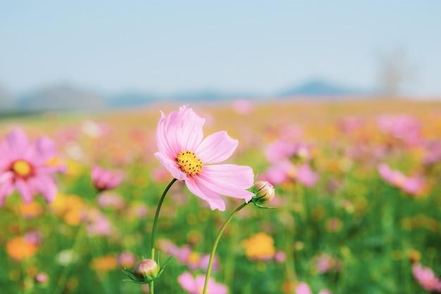 フィールドにピンクのコスモス。