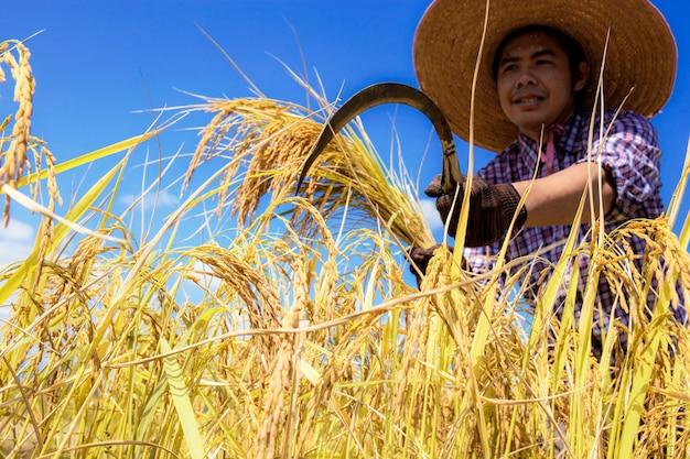 農家は空で稲刈りをしています。