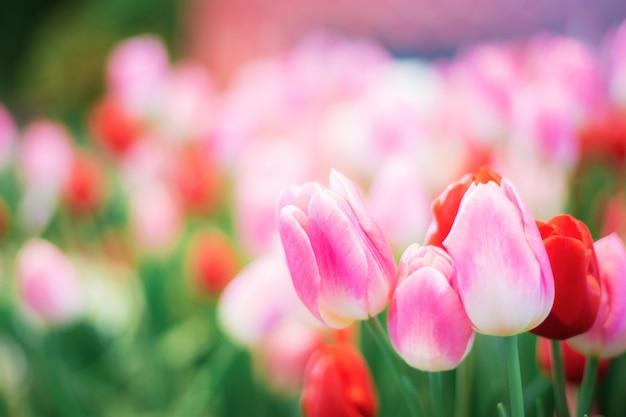 冬のピンクのチューリップ。