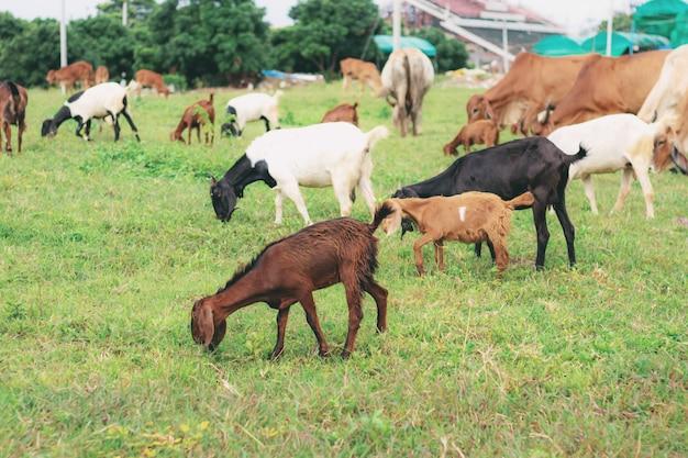 田舎の牧草地のヤギ。