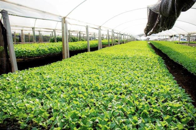 温室の有機野菜。