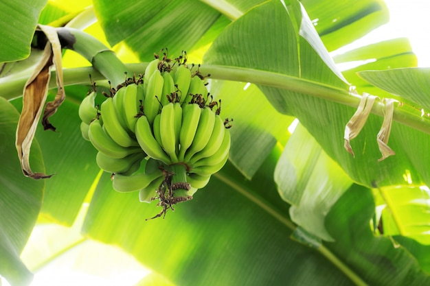 葉の背景を持つツリーのバナナ