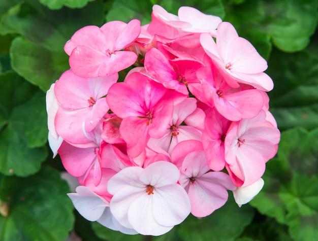 ピンクのキリストのとげの花
