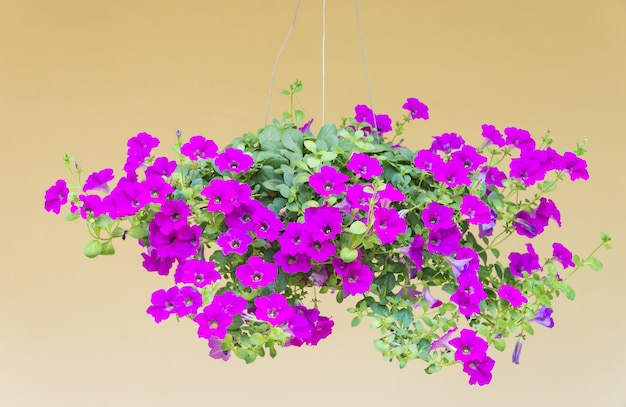 Фиолетовый горшок петунии