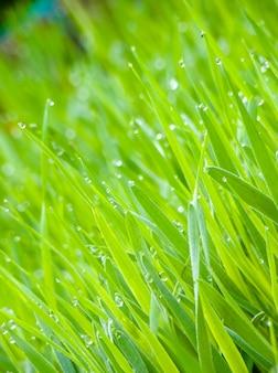 庭の明るい緑の芝生に露の背景が値下がりしました。