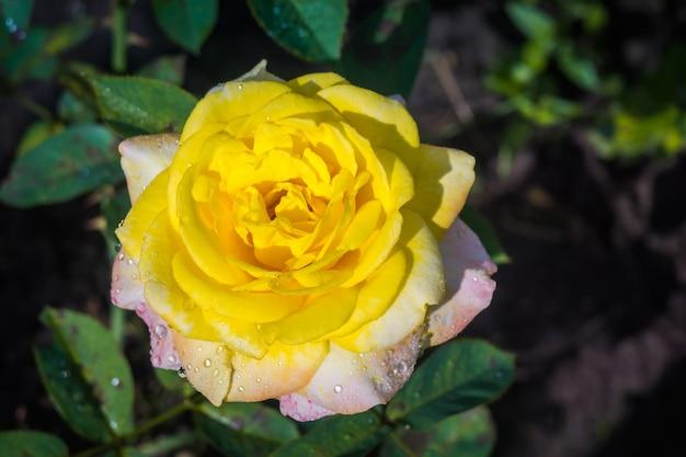 明るい黄色のバラ