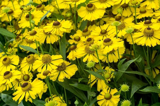 庭の黄色いデイジー