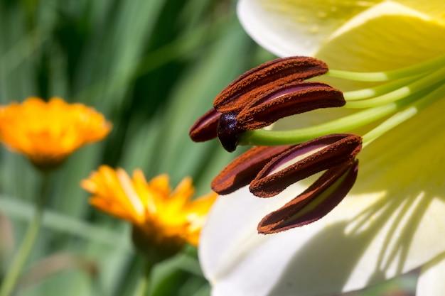 白いユリの花