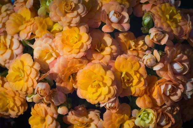 Оранжевые цветы калахоэ