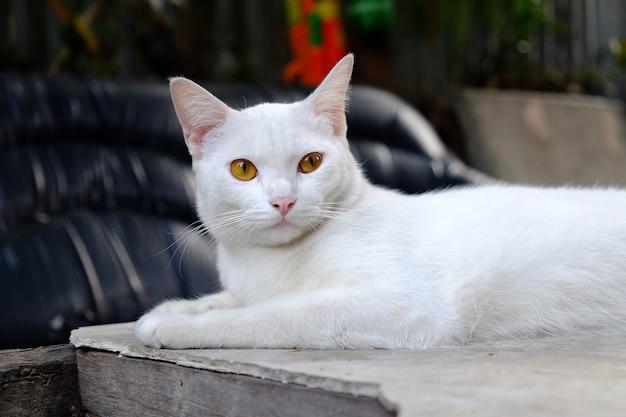 タイの白い猫