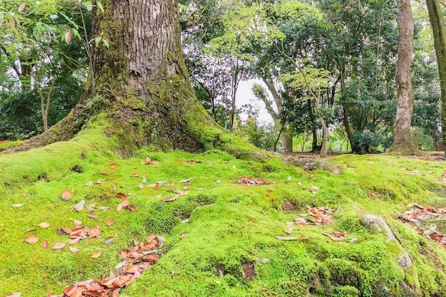 Мосс в храме тенрю-дзи в киото, япония - неглубокая глубина