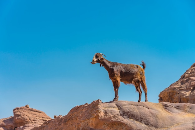 ヨルダンペトラの街の近くの山のヤギ