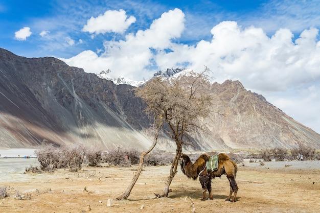 インドのジャンムーカシミール州レー地区の砂丘の上を歩くラクダ。