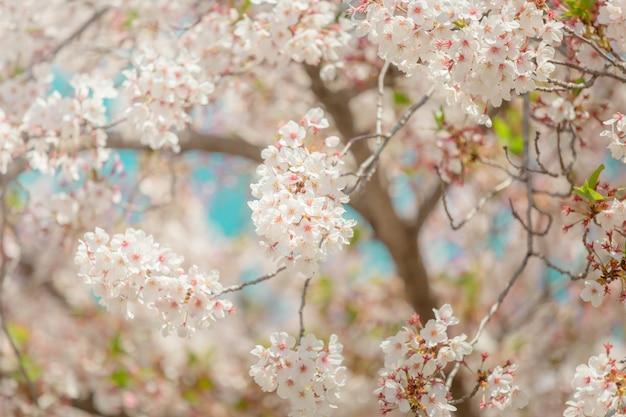 Вишня в цвету сакуры в японии с размытым фоном голубого неба