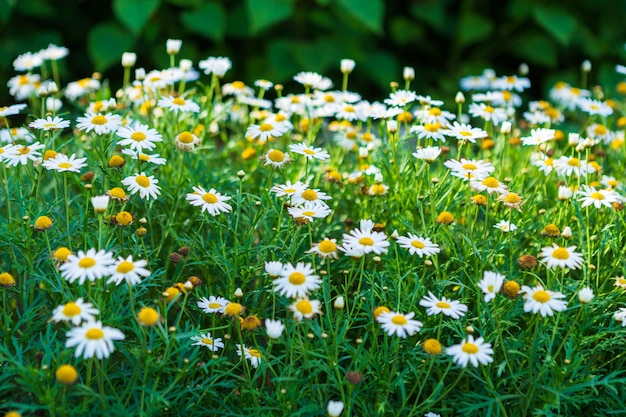Белые приморские ромашки в саду весной.