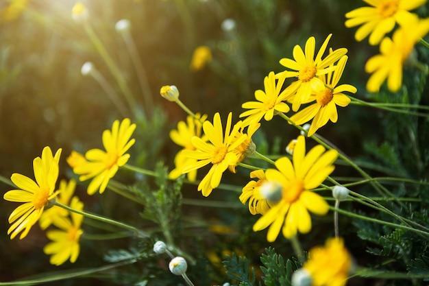 春の庭の緑の芝生の自然にフィールドデイジー花またはシンガポールデイジー黄色